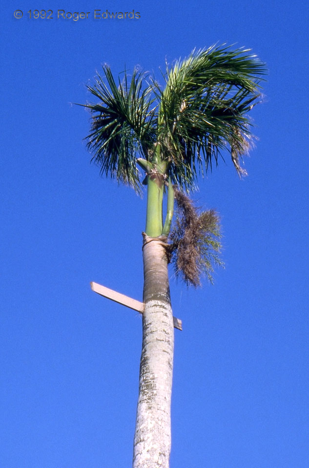 Impaled Palm (Hurricane Andrew)