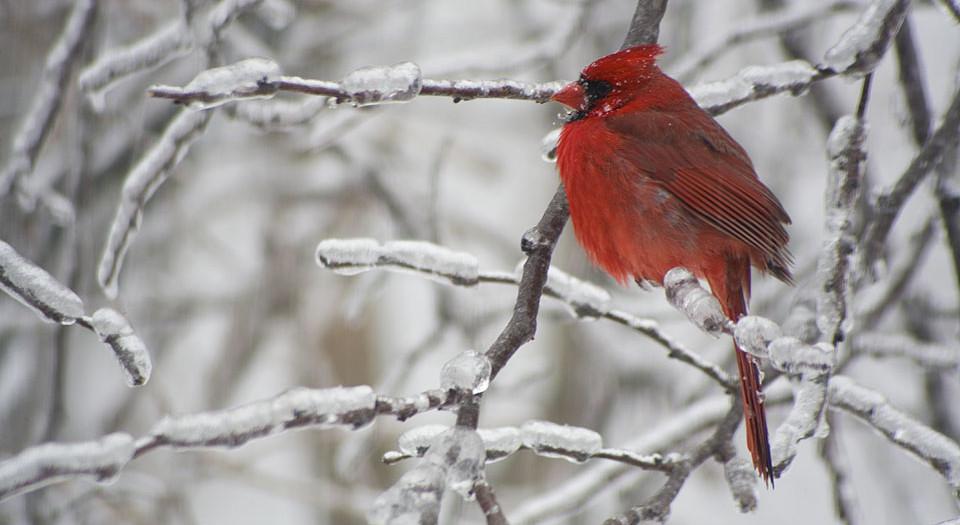 Red Bird in a Redbud