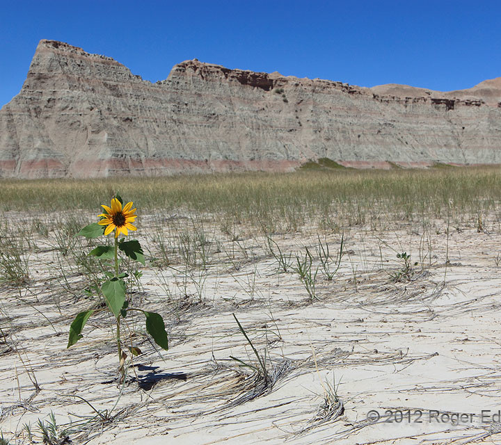 Sunflower from Flood Wash