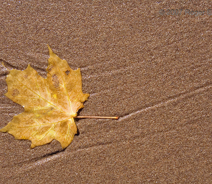 Maple Leaf Ashore