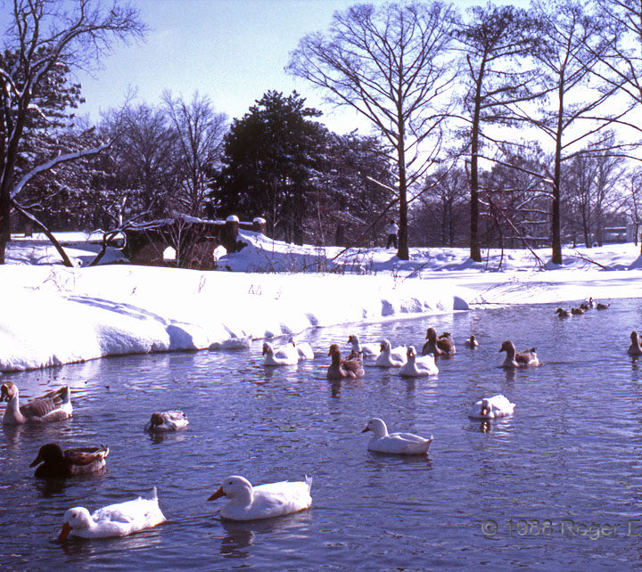 Ducks and Snow