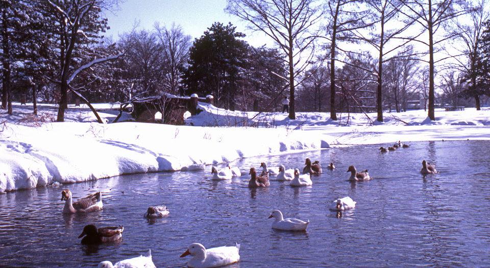 Ducks and Snow